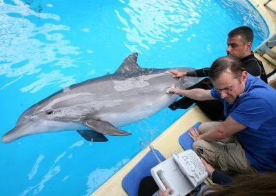 Zwangere dolfijn redt leven van dierenarts