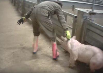 Animal Rights vs Tielts slachthuis